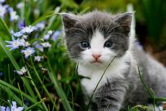Gatito gris y blanco entre la hierba