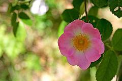 Rosa salvaje floreciendo en el mes de abril