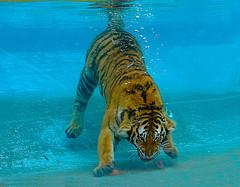 Tigre buceando para pescar peces