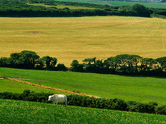 Vaca en un prado en el mes de mayo