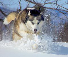 Imagen refescante: un perro huskie corriendo sobre la nieve
